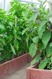 Het groeien van de aubergine Stock Foto