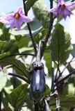 Het groeien van de aubergine in tuin Royalty-vrije Stock Foto