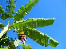 Het groeien van de banaan op boom 1 Royalty-vrije Stock Fotografie