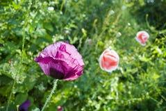 Het groeien van de Bloem van de papaver in de tuin Royalty-vrije Stock Afbeeldingen