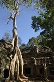 Het groeien van de boom bij de tempel van Ta Phrom Royalty-vrije Stock Fotografie