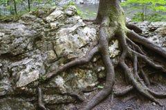 Het groeien van de boom op de rots Stock Afbeelding