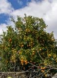 Het groeien van de clementine op de boom royalty-vrije stock afbeelding