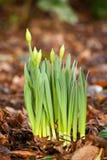 Het groeien van de gele narcis Royalty-vrije Stock Foto