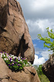 Het groeien van de installatie op rotsmuur Stock Afbeeldingen