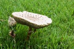 Het groeien van de paddestoel in het gras Royalty-vrije Stock Fotografie
