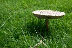 Het groeien van de paddestoel in het gras Royalty-vrije Stock Afbeeldingen