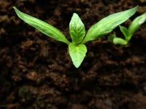 Het groeien van de paprika Stock Foto's