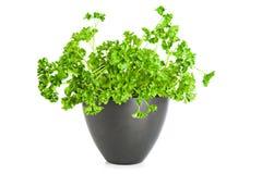 Het groeien van de peterselie in pot Royalty-vrije Stock Afbeeldingen