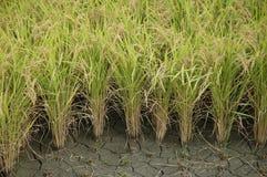 Het groeien van de rijst Stock Afbeeldingen