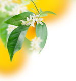 Het groeien van de sinaasappel en van de bloem Stock Fotografie