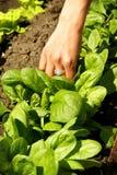 Het groeien van de spinazie in plantaardige tuin, Stock Foto's