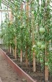 Het groeien van de tomaat in de broeikas Royalty-vrije Stock Fotografie