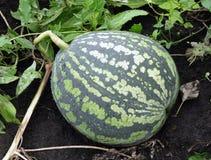 Het groeien van de watermeloen Royalty-vrije Stock Afbeelding
