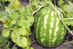 Het groeien van de watermeloen op het gebied stock afbeeldingen