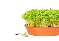 Het groeien van de witte waterkers in een pot Stock Afbeeldingen