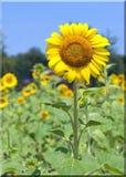 Het Groeien van de zonnebloem op een Gebied   Stock Fotografie