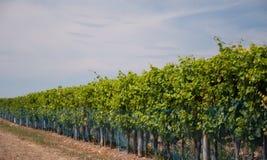 Het groeien van druiven Stock Foto's