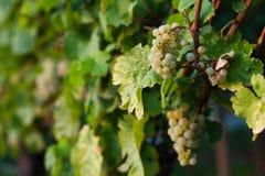 Het groeien van druiven Stock Afbeeldingen