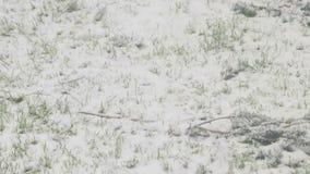 Het groeien van het gras door sneeuw stock video