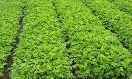 Het groeien van groenten Stock Afbeelding