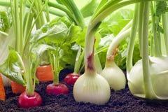 Het groeien van groenten in de tuin Stock Foto's