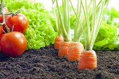 Het groeien van groenten in de tuin Royalty-vrije Stock Foto's