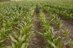 Het groeien van het graan op gebied Stock Foto's