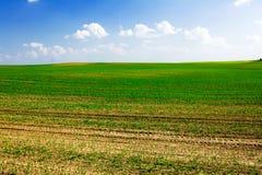 Het groeien van het graan op het gebied Stock Afbeelding