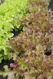 Het groeien van Letucce in groen huis Royalty-vrije Stock Foto's