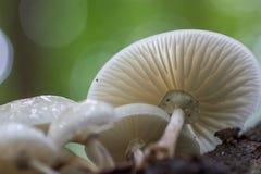 Het groeien van paddestoelenporselain op dood hout in het bos stock foto