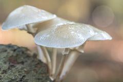 Het groeien van paddestoelenporselain op dood hout in het bos royalty-vrije stock fotografie