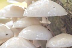 Het groeien van paddestoelenporselain op dood hout in het bos royalty-vrije stock afbeelding