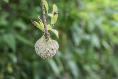 Het groeien van vlaapple op een boom Stock Fotografie