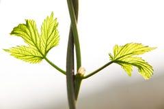 Het groeiende hopdetail van hop doorbladert Gebied van jonge hop in Slowakije tijdens de lente royalty-vrije stock afbeelding