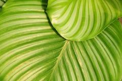 Het groen ronde verlof van maranta Stock Afbeelding