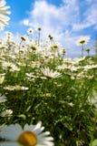 Het groen van de wolkenkamille Stock Foto
