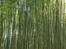 Het Groene Bamboebos in Zuid-Korea, Achtergrond Stock Fotografie