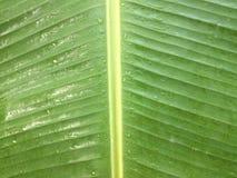 Het groene banaanblad is nat met regendalingen stock fotografie