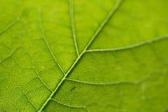 Het groene blad Royalty-vrije Stock Foto's