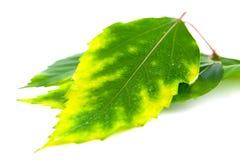 Het groene blad Stock Foto