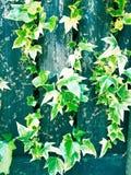 Het groene blad groeien op tuinpoort Stock Afbeelding