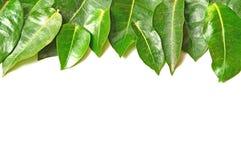 Het groene blad isoleert op wit Stock Afbeeldingen