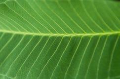 Het Groene Blad van de close-up Stock Fotografie