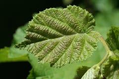 Het groene blad van de Hazelnoot Stock Afbeeldingen