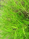Het groene blad van het de kleurenblad van de grasinstallatie heldere lichte royalty-vrije stock fotografie