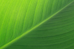Het groene Blad van de Lelie Stock Foto's