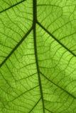 Het groene blad van het detail Stock Afbeelding