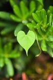 Het groene Blad van het Hart Stock Fotografie