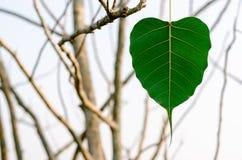 Het groene het blad van kleurenbodhi hangen op de boom royalty-vrije stock afbeeldingen
